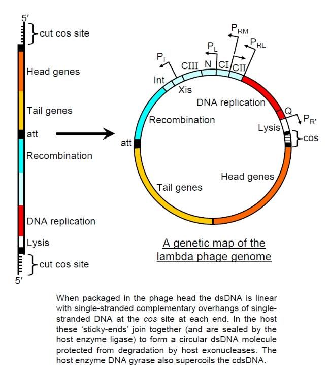 More Bacteriophages. Lambda Genome. Worksheet. Lytic And Lysogenic Cycle Worksheet At Clickcart.co