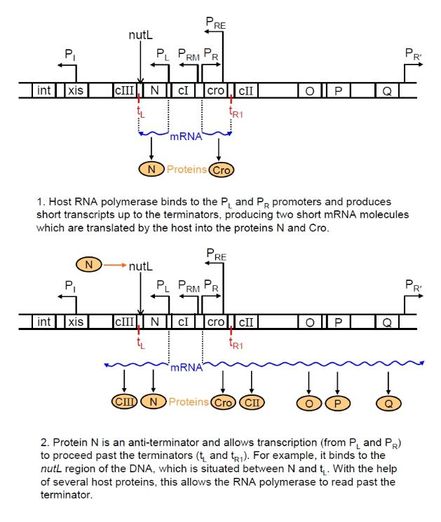 lambda phage gene transcription 2