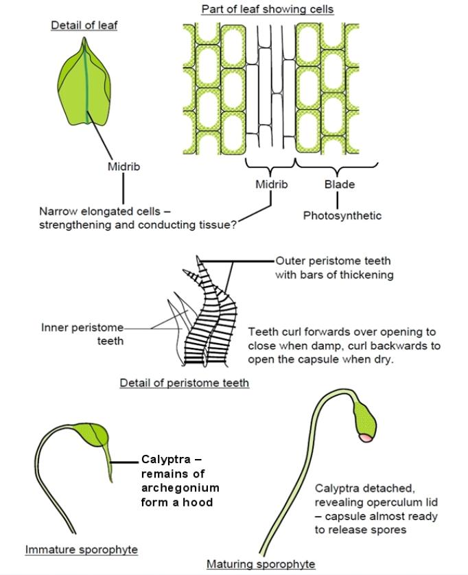 Diagram Of A Moss Leaf Cell Diy Enthusiasts Wiring Diagrams