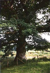 an oak tree growing in a hedgerow