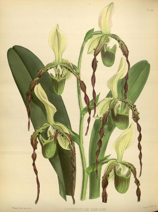 Paphiopedilum parishii by B.S. Williams, 1883.