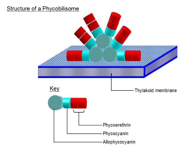 Phycobilisome
