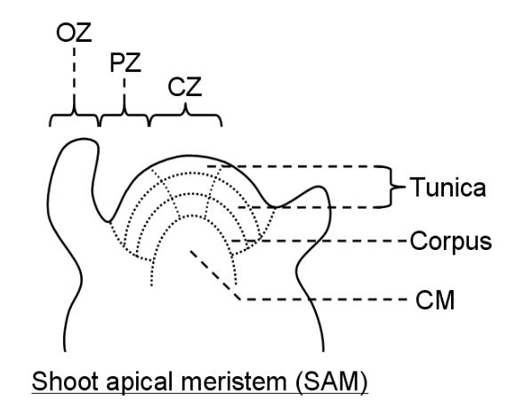 shoot apical meristem