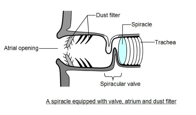 A spiracle with dust filter and valve