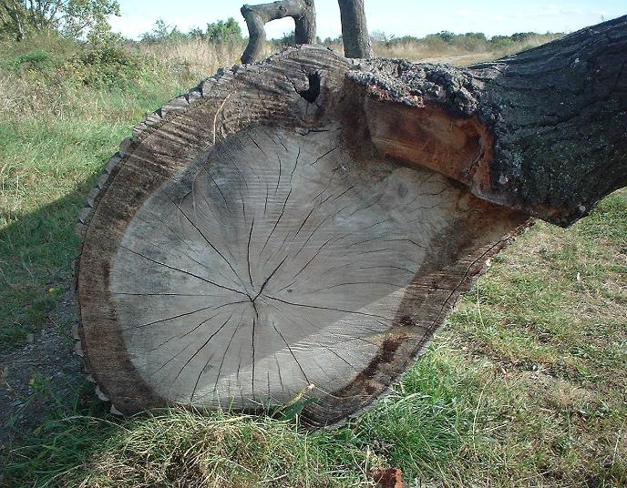 felled oak log