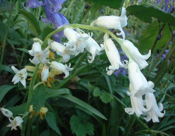 bluebell, white variety