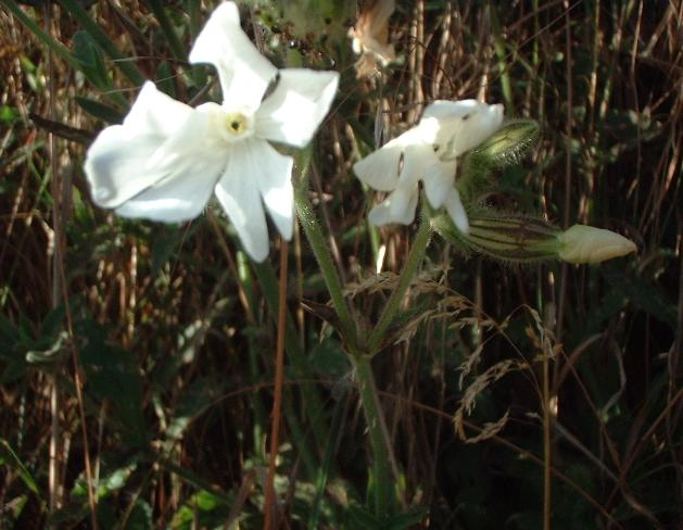 White Campion, Silene latifolia